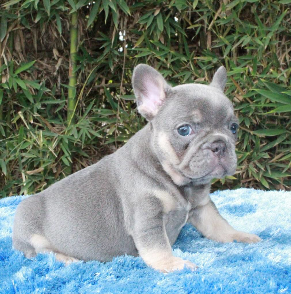 Lilac French Bulldog Lilac French Bulldog French Bulldog Blue Blue French Bulldog Puppies