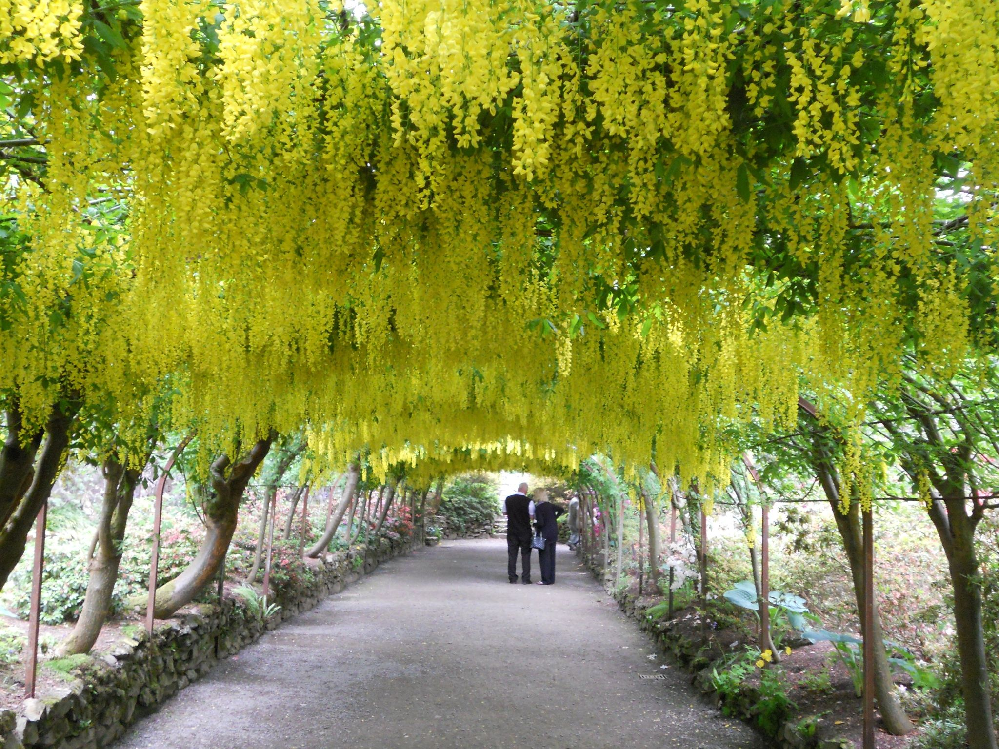 Scenic Laburnum Arch Bodnant Gardens  Garden Stuff  Pinterest  With Outstanding Arches  Laburnum Arch Bodnant Gardens With Endearing Garden Sheds Plastic Uk Also Sunlight Garden Side Turkey In Addition Wwwgardeners World And Garden Urn Planters As Well As Garden Table Plans Additionally Prezzo Covent Garden From Pinterestcom With   Outstanding Laburnum Arch Bodnant Gardens  Garden Stuff  Pinterest  With Endearing Arches  Laburnum Arch Bodnant Gardens And Scenic Garden Sheds Plastic Uk Also Sunlight Garden Side Turkey In Addition Wwwgardeners World From Pinterestcom