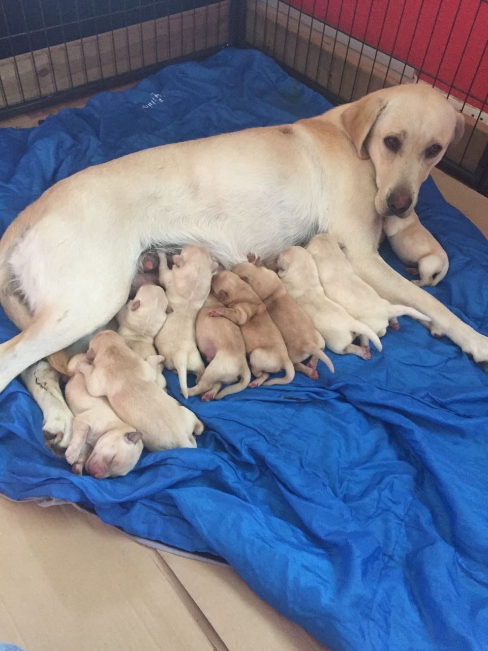 Ready Now Super Kc Reg Fox And Yellow Lab Pups Brandon Suffolk Pets4homes Lab Puppies Athletic Dogs Working Dogs