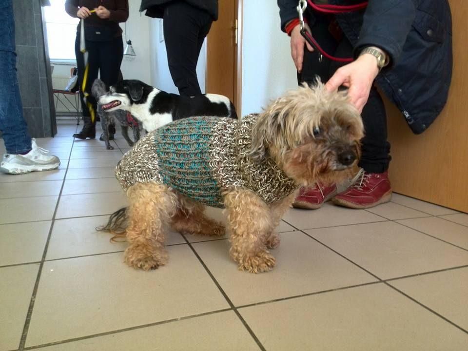 Pudel-Mischling mit Hundemantel | Hundepullover | Pinterest | Pudel ...