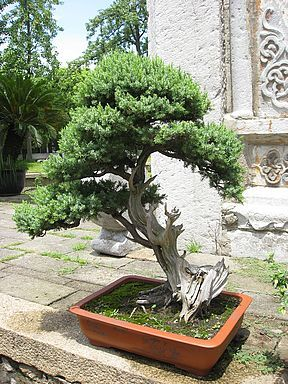 Bonsai Juniper Cupressaceae Evergreen Bonsai Bonsai Tree Bonsai Juniper Bonsai