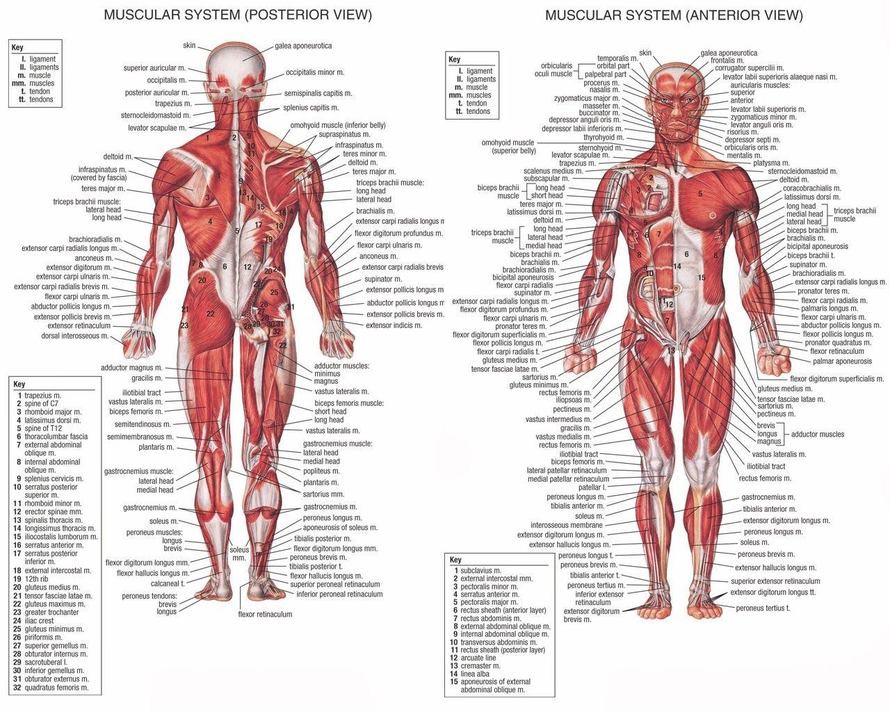 muscle map of human body muscle map human body - human anatomy, Muscles