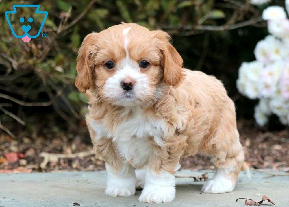 Cinderella Shih Tzu Mix Puppy For Sale Keystone Puppies Shih