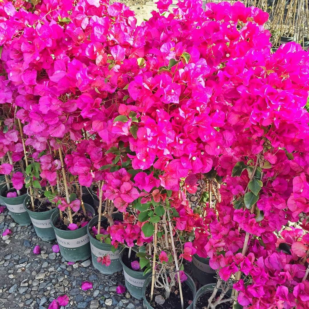 hurry up spring! #tbt (shown: barbara karst#bougainvillea zones 10