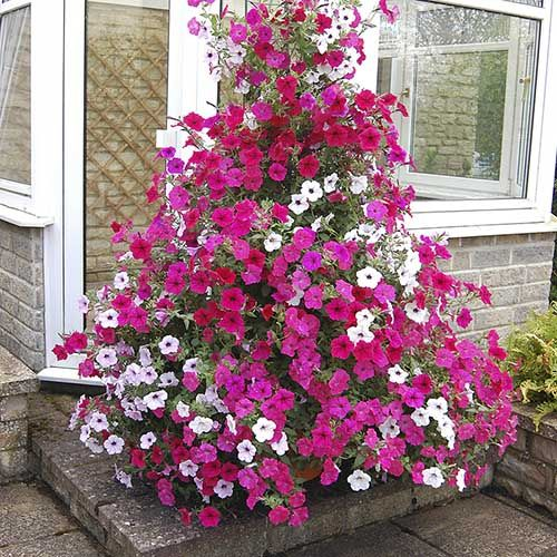 Climbing Groundcover Petunia Tidal Wave Best Potted Plants