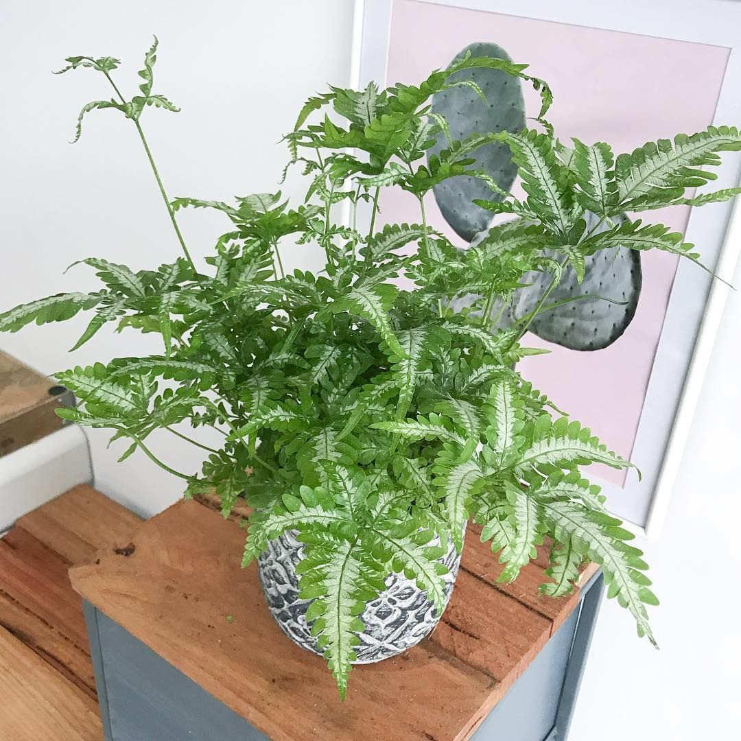"Picture of Live Silver Lace Fern aka Pteris ensiformis 'Evergemiensis' Plant Fit 4"" Pot"