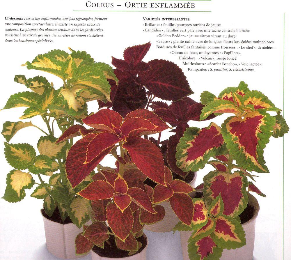 plante feuille rouge fabulous aeonium arboreum with plante feuille rouge top image with plante. Black Bedroom Furniture Sets. Home Design Ideas