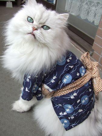 Yukata cat - Why do people dress Animals??!! Japan. S)