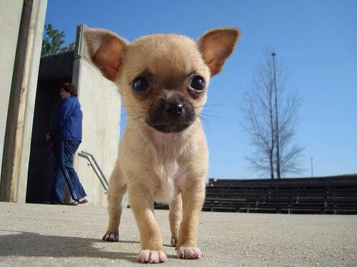 Mini Kangal Chihuahua Puppies Baby Chihuahua Chihuahua Dogs