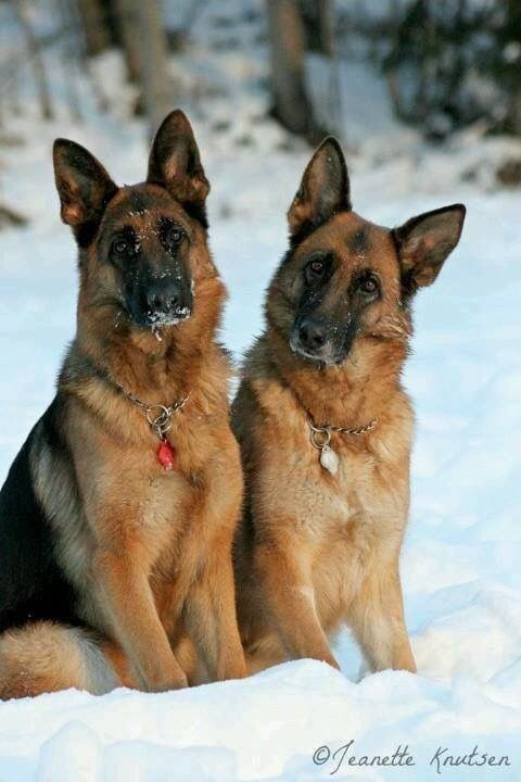 Pin by Khaled Ghazy on German shep puppies German