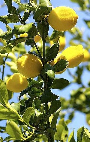 Why Green Thumbs Will Never Sour On Citrus Green Thumb Citrus Sweet Smelling Flowers