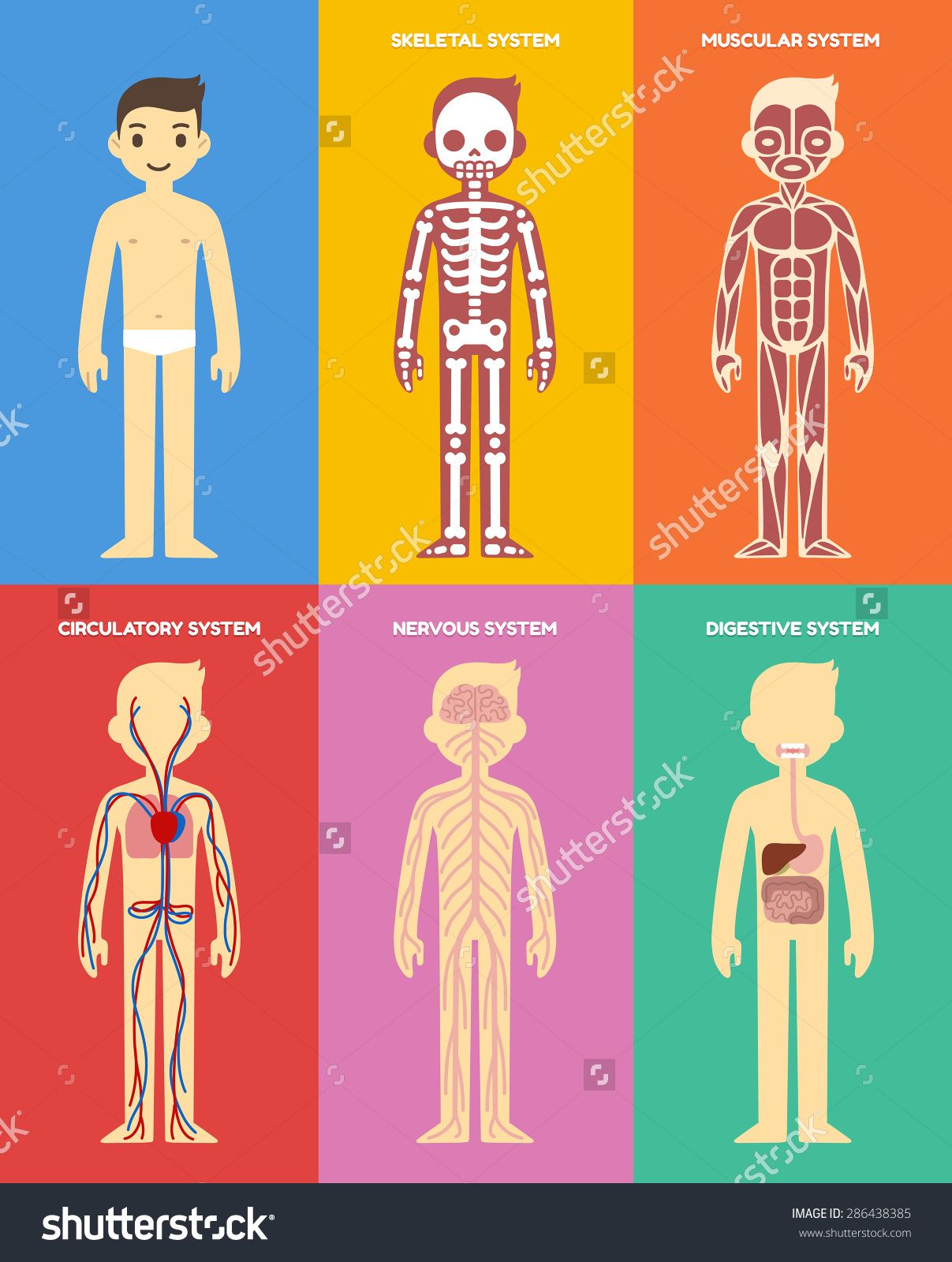 stock-vector-stylized-human-body-anatomy-chart-skeletal-muscular ...