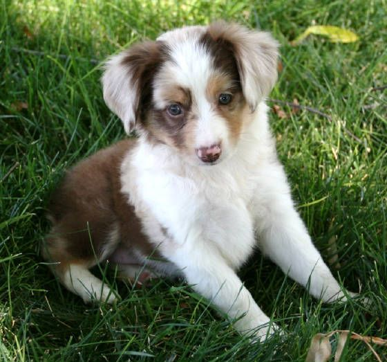 Toy Mini Australian Shepherd Pups For Sale Co Tug Yurhart Australian Shepherd Mini Australian Shepherds Australian Shepherd Puppies