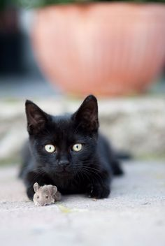 Little Black Cat Cute Black Cats Kittens Cutest