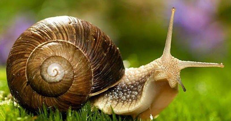 تفسير حلم رؤية الحلزون في المنام نشاركها عبر موقعنا أحلي صورة وهل سبق وظهر لك الحلزون في المنام إن الحلزون هو ذلك الكائن الحي الذي يعرفه الك Animals Pics Snail