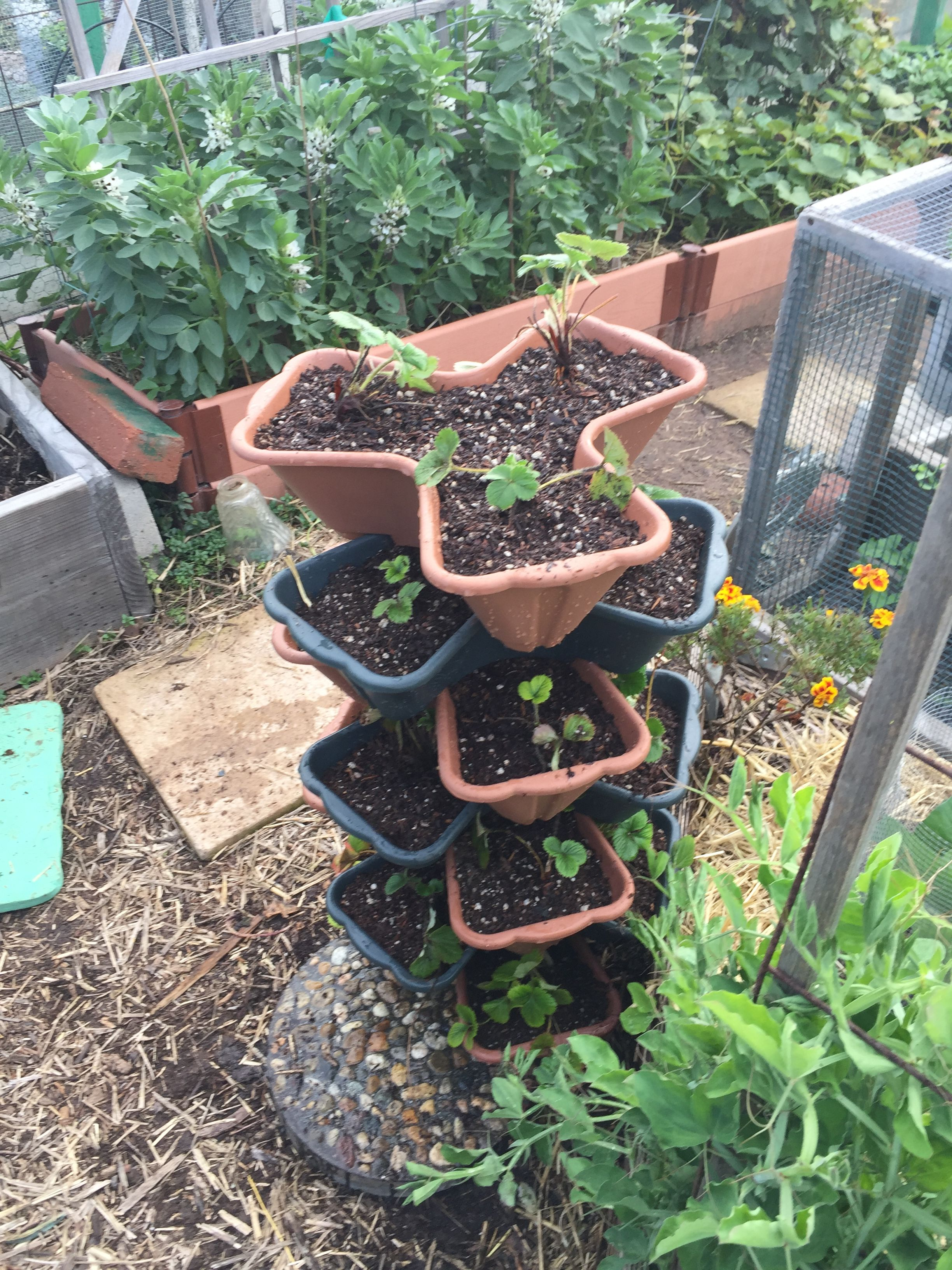Strawberry Planters From The 99 Cent Store Filled With Half