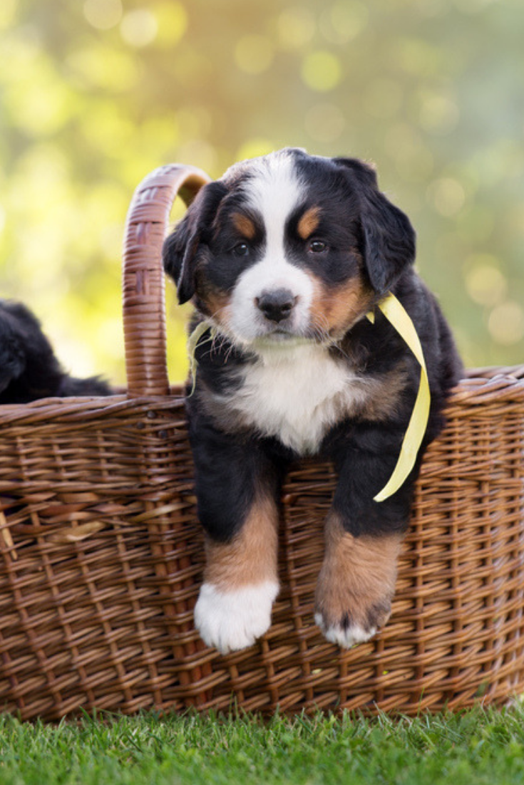 The Best Food For Bernese Mountain Dog Puppy Bernese Mountain Dog Puppy Bernese Mountain Dog Dogs