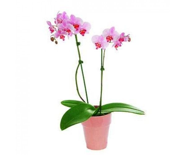 Pink Phalaenopsis Orchid Plant Gifts Phalaenopsis Orchid Orchid Flower
