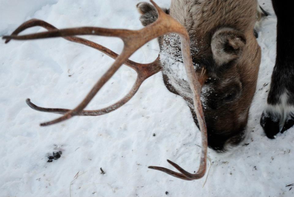 Reindeer park, Kirkines