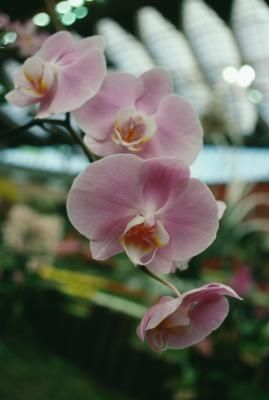 My Orchid Is Wilted What Do I Do Growing Orchids Orchid Seeds Orchid Roots