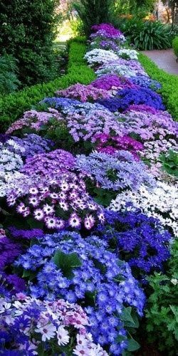 Cinerraria, vibrant part shade annuals Tuin beplanting - plantas para jardin
