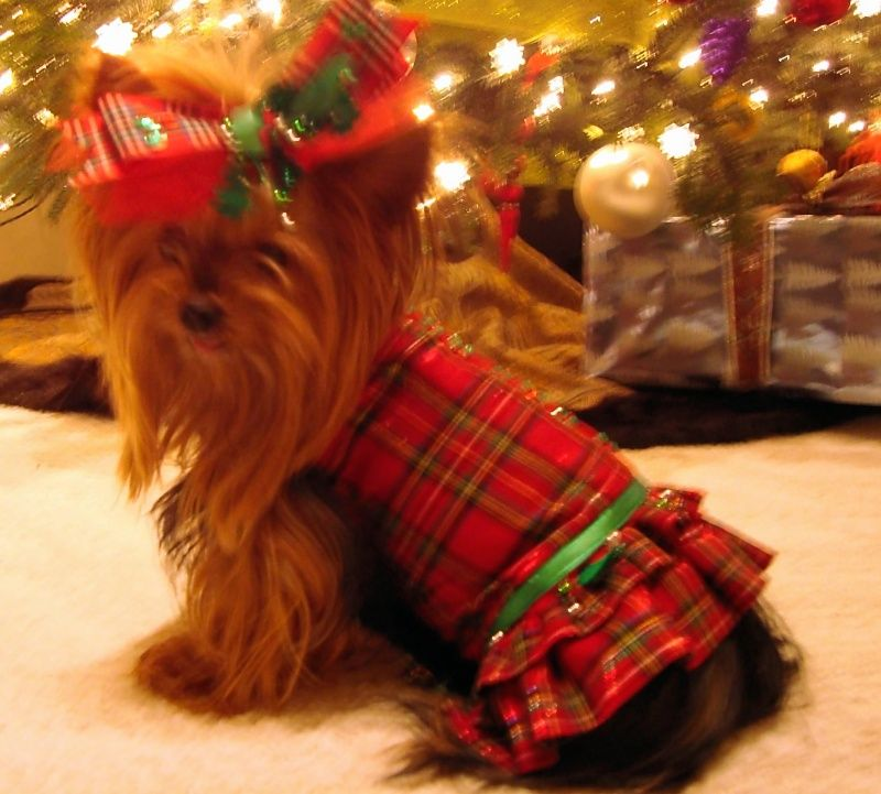 Yorkie Or Small Dog Christmas Dress Double Ruffled Skirt Rhinestone Holly Trim Christmas Tree Belt Yorkie Moms
