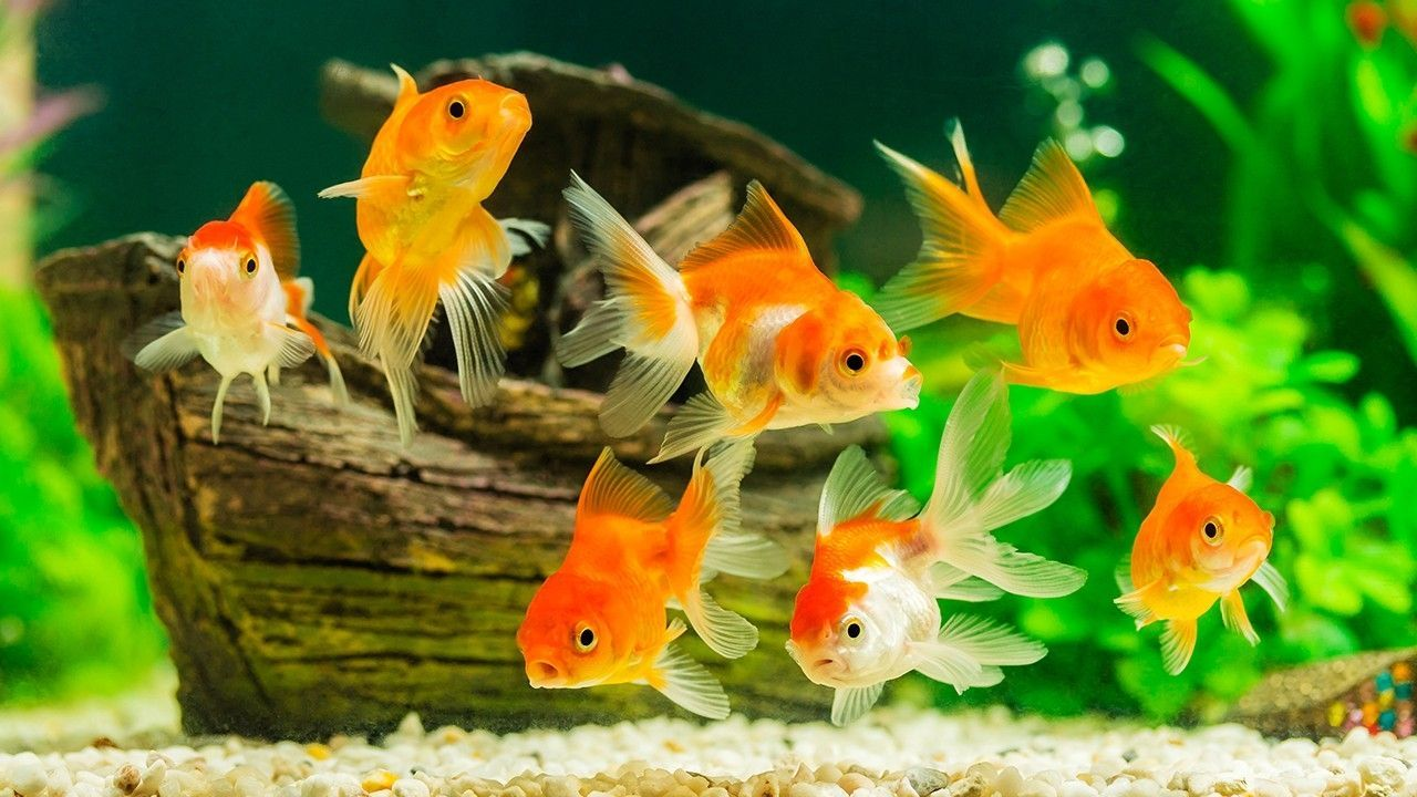 600 Unwanted Pet Goldfish Have Found A New Home At The Paris