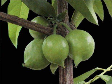 garcinia morella fruit