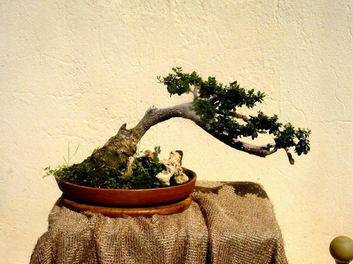 15 Cute Bonsai Plants You Would Want To Take Home Right Now Olive Tree Bonsai Plants Bonsai