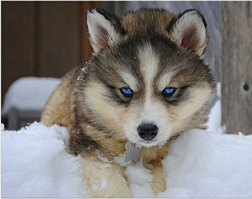 All The Things We Admire About The Intelligent Siberian Husky Pup