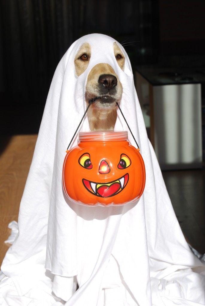 Disfrazar a nuestras mascotas es una buena manera de llevar la noche de brujas en cada rincón de nuestro hogar. Aquí tienes algunas ideas para que te inspires mejor.  Visita nuestro catálogo de mascotas http://www.linio.com.mx/mascotas/