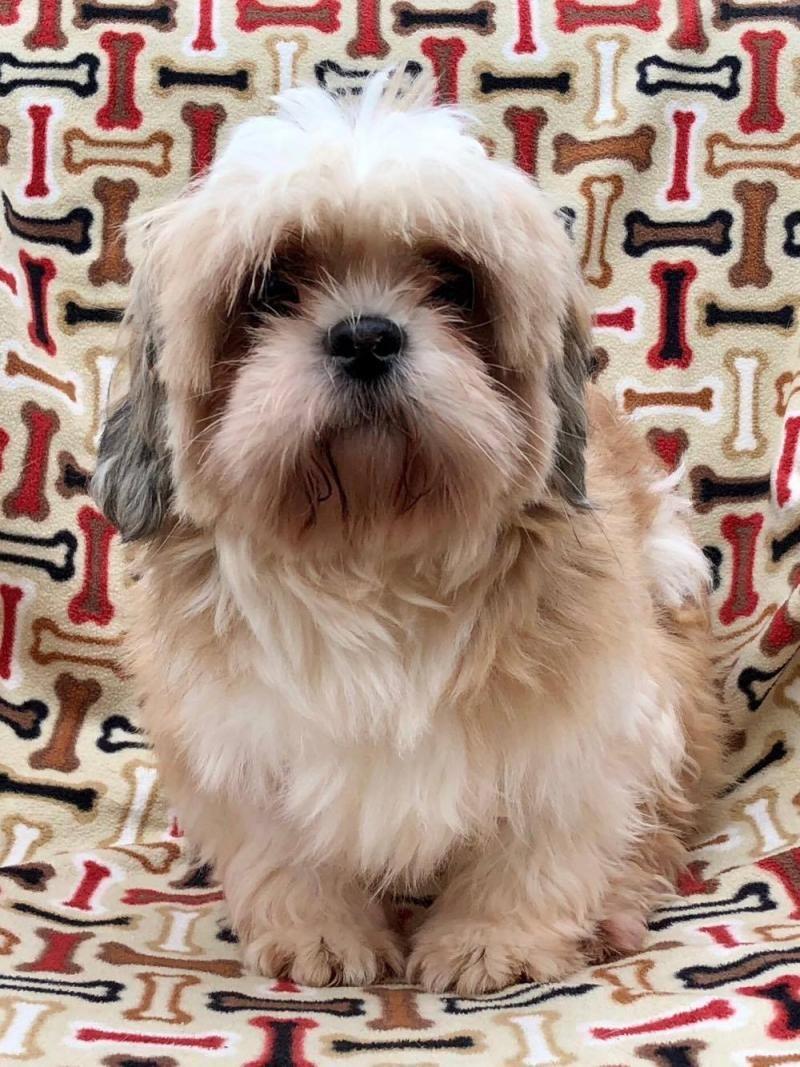 Adopt Home Fry On Petfinder Shih Tzu Pets Dog Adoption
