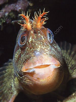 The Tompot Blenny or Parablennius gattorugine is a small fish that only grows to about 15cm in length and is found in shallow, rocky areas. This saltwater fish is just one of the over 800 different species of Blennies!