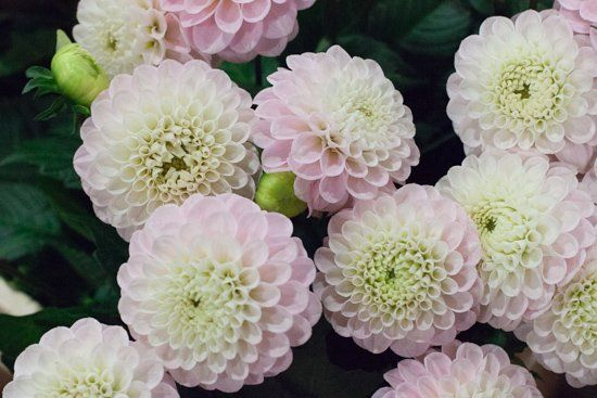 Pale Pink 'Wizard of Oz' dahlias at New Covent Garden Flower Market - November 2015
