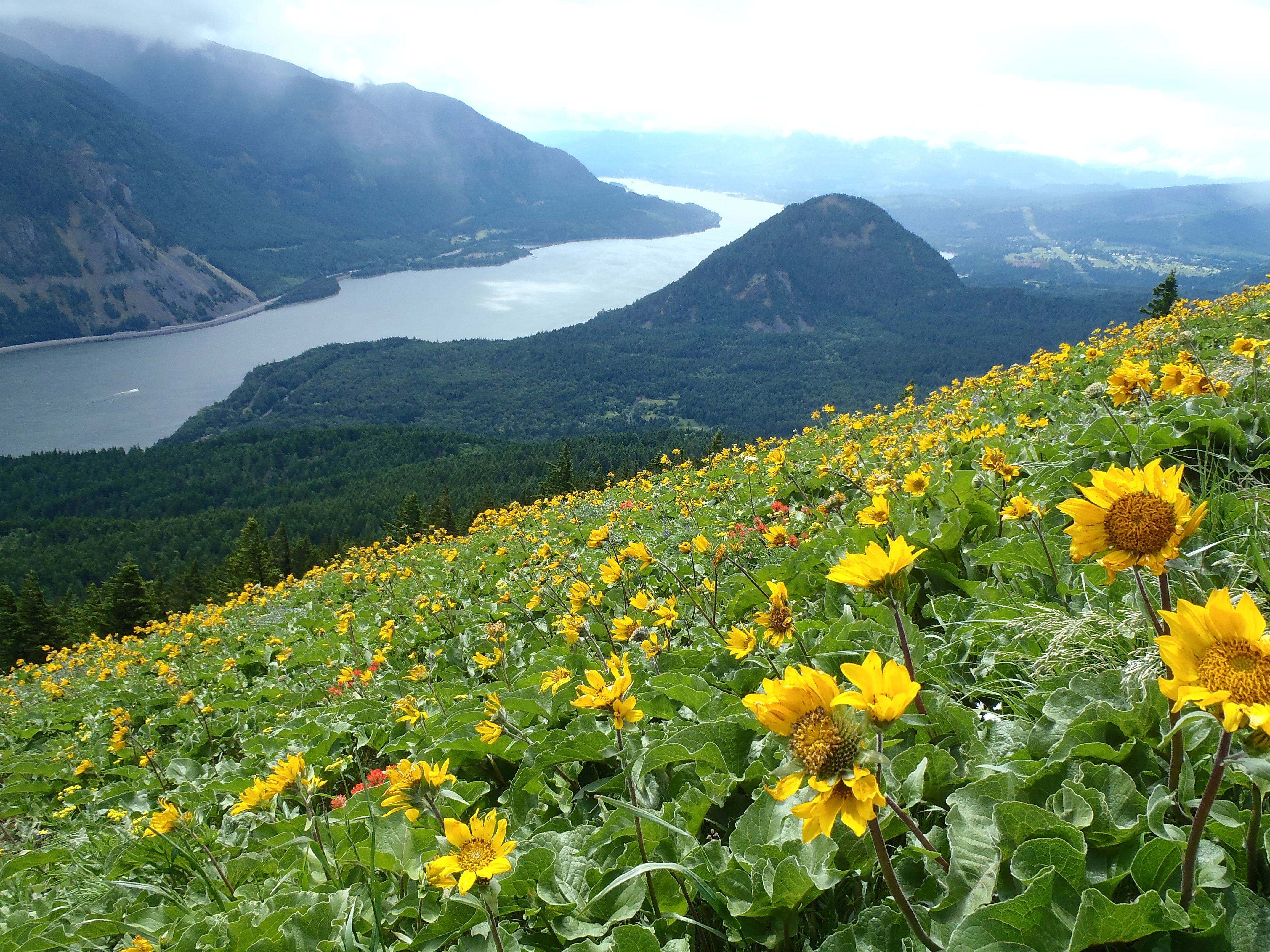 An ocean of wildflowers dog mountain columbia river