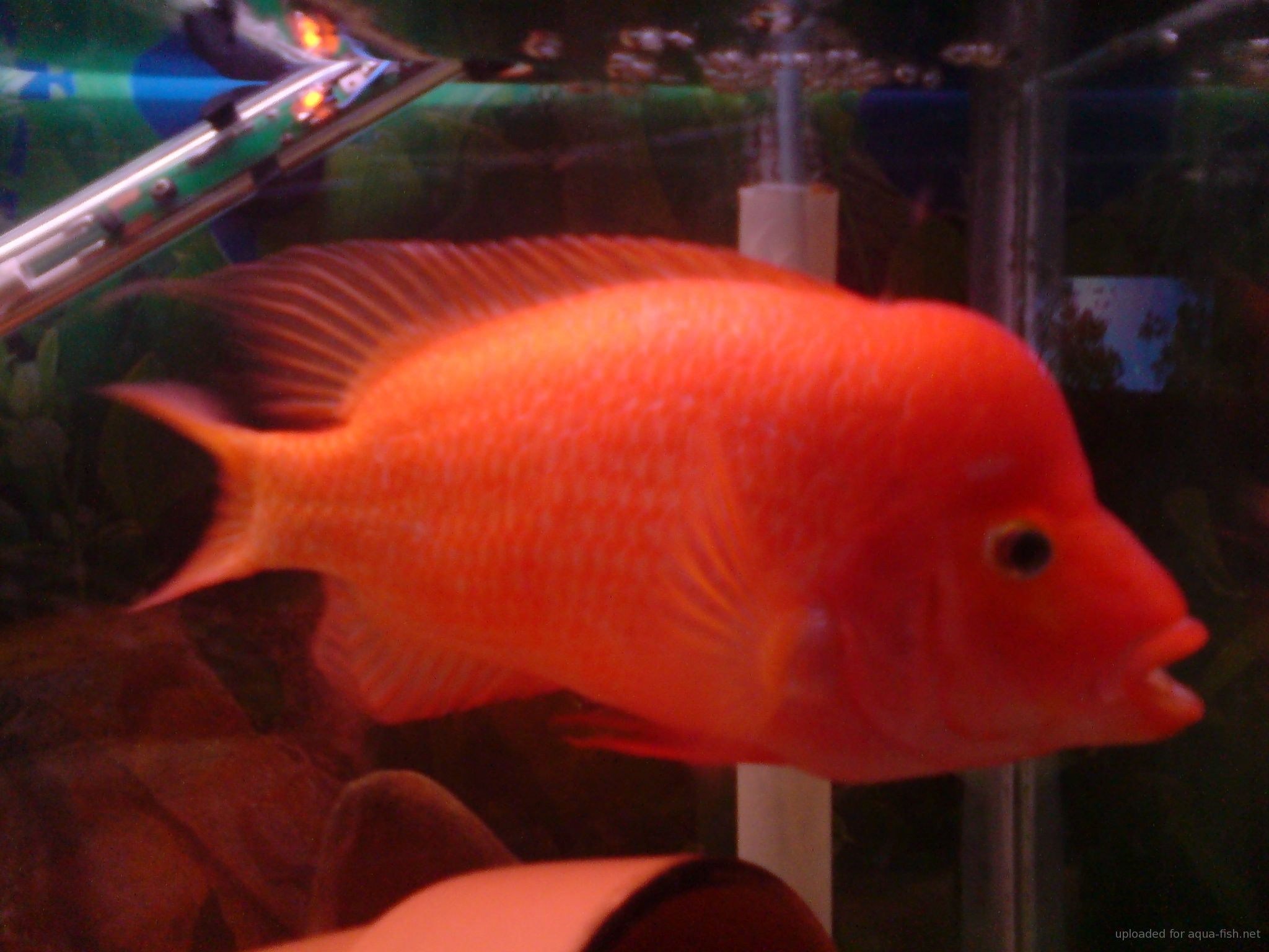 Freshwater aquarium fish profiles - Red Devil