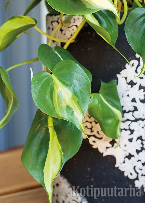 Kultaköynnös 'Brazil' pitää hajavalosta. Varjossa lehtien kirjavuus kärsii. Kultaköynnös sopii amppeliin, korkeaan ruukkuun, hyllyn reunalle ja seinälle kiipeilemään. Lue vinkit viherkasvien hoitoon http://www.kotipuutarha.fi/puutarhavinkit/koristekasvit/viherkasvien-hoito.html