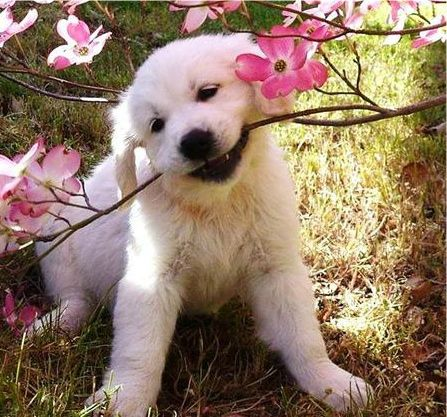 White Golden Retriever Puppy In Flower Garden The Breeder Of This