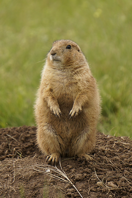 Prairie Dogs These charismatic, rabbitsize rodents live