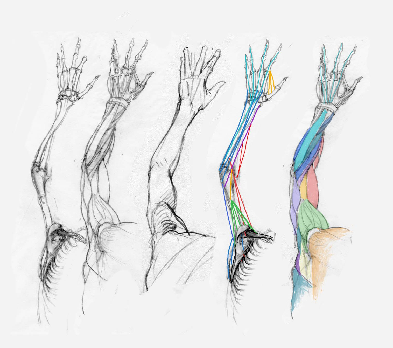 Arm muscles 6 | Anatomy Drawing Painting | Pinterest | Arm muscles ...