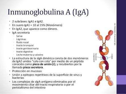 la IgA en el tracto digestivo se secreta en forma de dímero