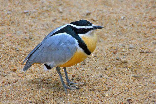 Egyptian Plover