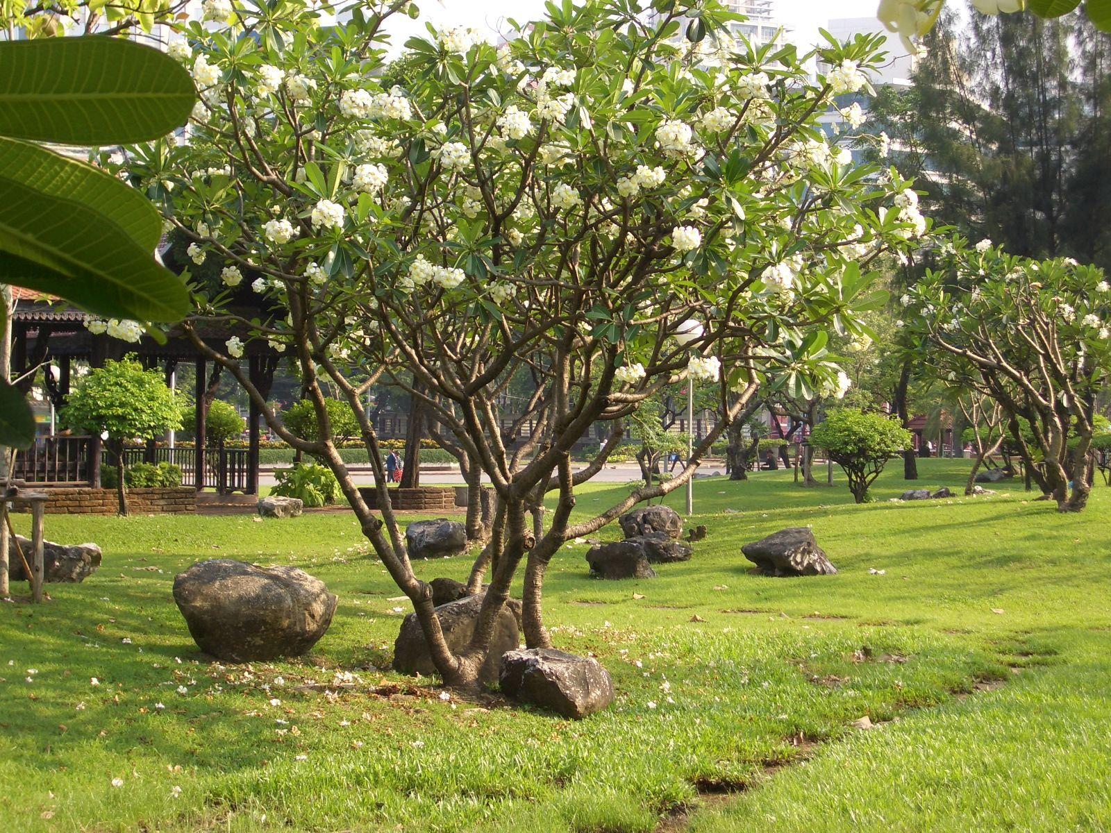 perth trees Mature frangipani