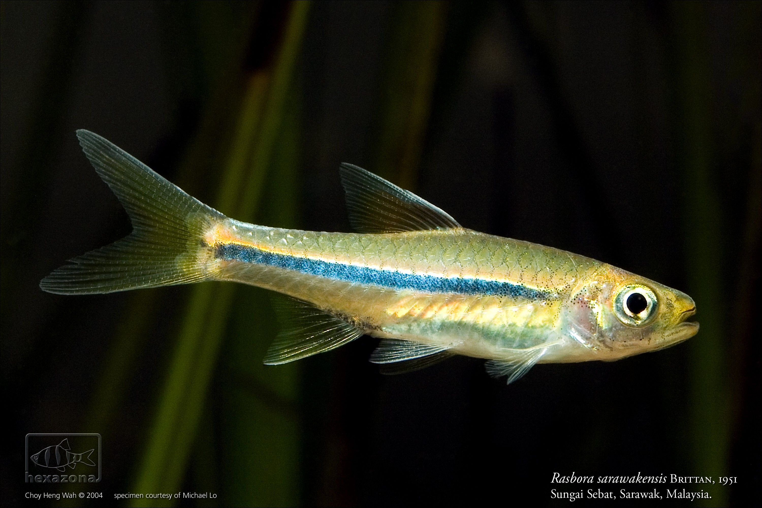 Rasbora Sarawakensis Aquarium Fish Tropical Fish Fish Pet