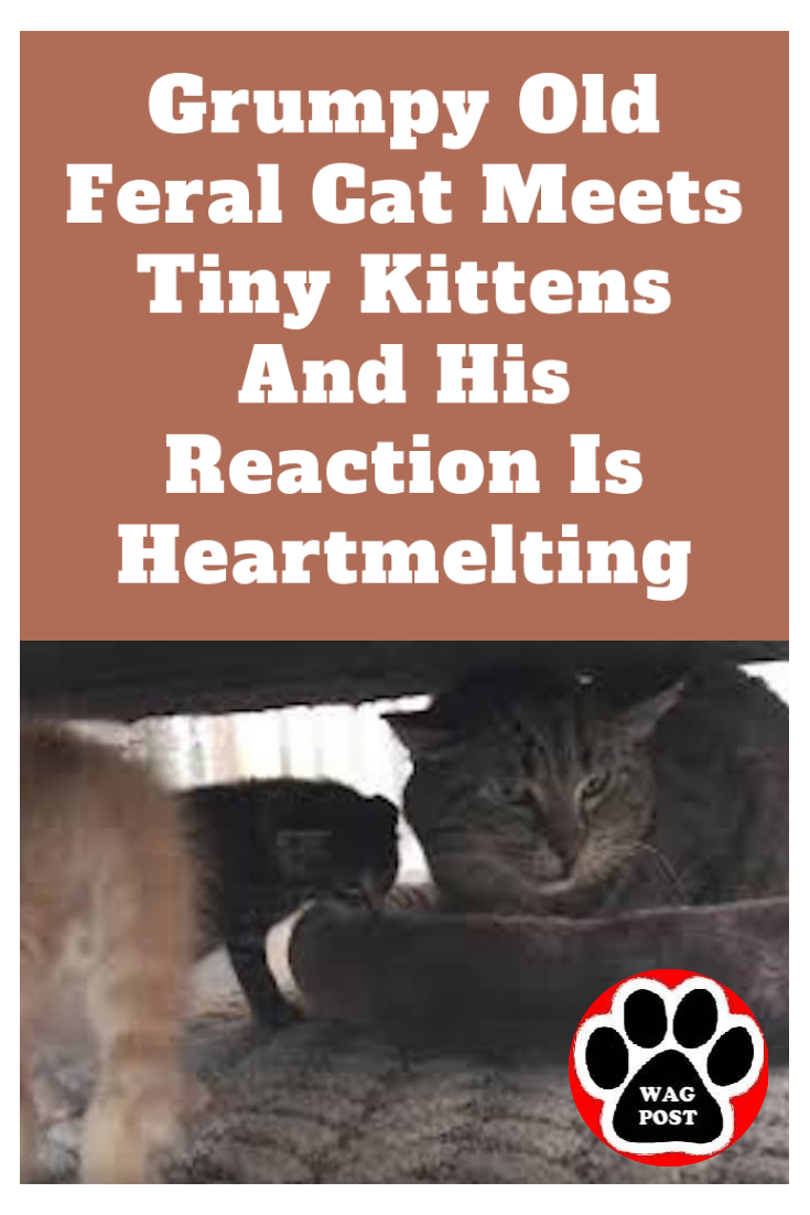 Grumpy Old Feral Cat Meets Tiny Kittens And His Reaction