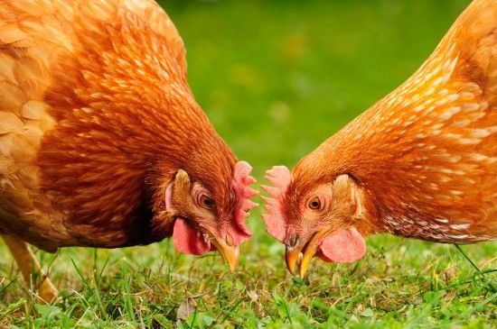 Human Food Thats Safe To Feed To Chickens And Some Thats Not