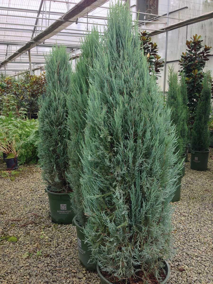 Juniperus Scopulorum Blue Arrow