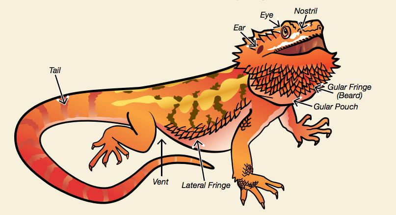 Bearded Dragon Anatomy | Bearded Dragons | Pinterest | Bearded ...