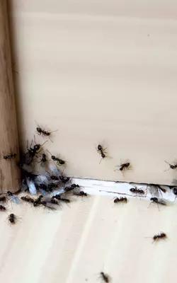 Chasser les fourmis dans la maison