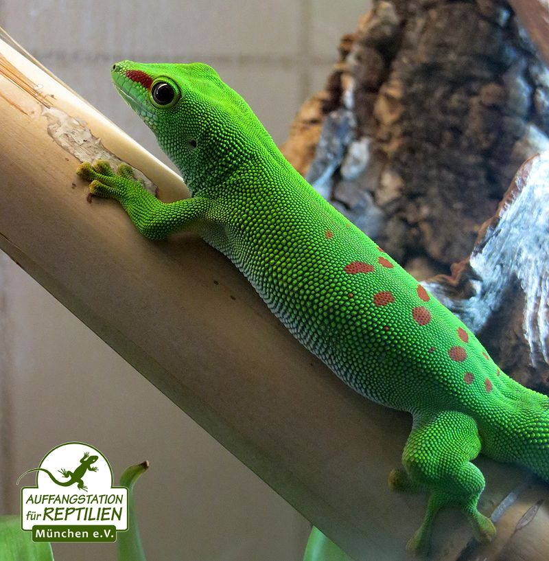 Gecko Englisch